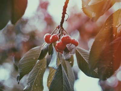 Berry hanging on a tree, ready for extraction and turned into essential oil